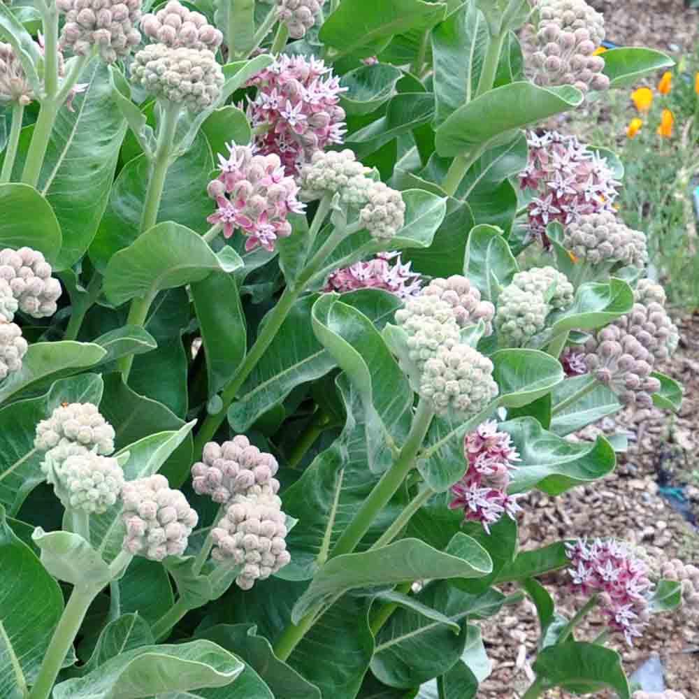 Showy Milkweed Flowers - (Asclepias speciosa)