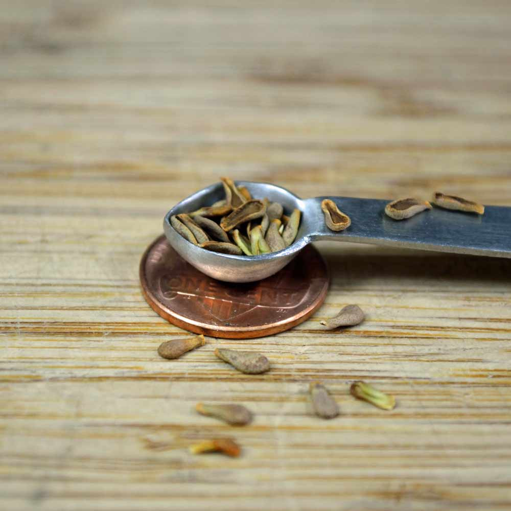 Pineneedle Milkweed Seeds - (Asclepias linaria)