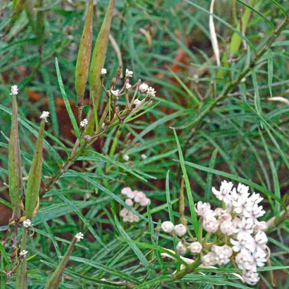 Immature Pineneedle Milkweed Pods - (Asclepias linaria)