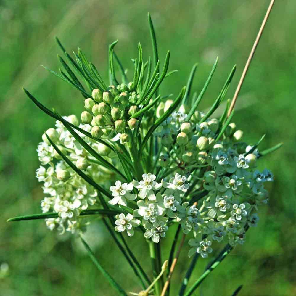 Whorled Milkweed Flowers - (Asclepias verticillata)