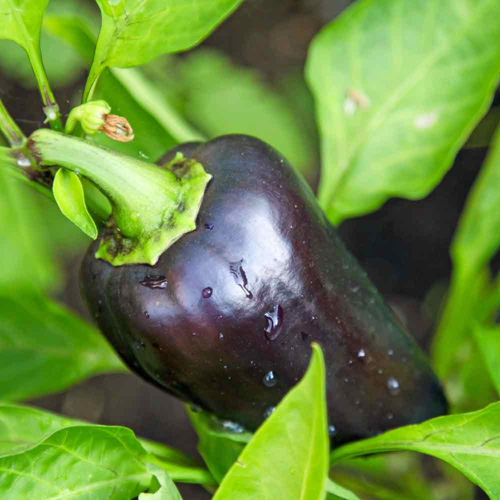 Young Purple Beauty Sweet Pepper - (Capsicum annuum)