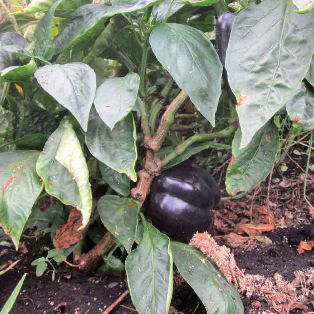 Young Purple Beauty Sweet Peppers - (Capsicum annuum)