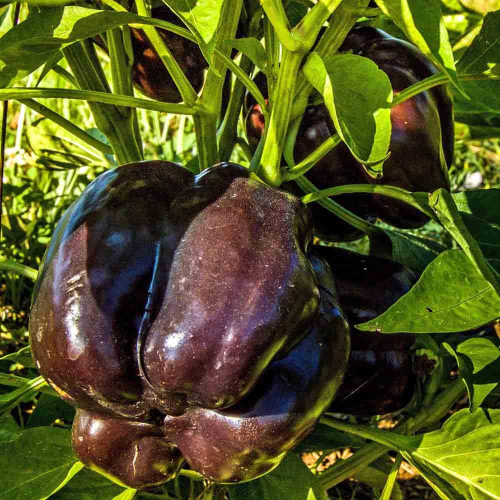 Purple Beauty Sweet Pepper  - (Capsicum annuum)