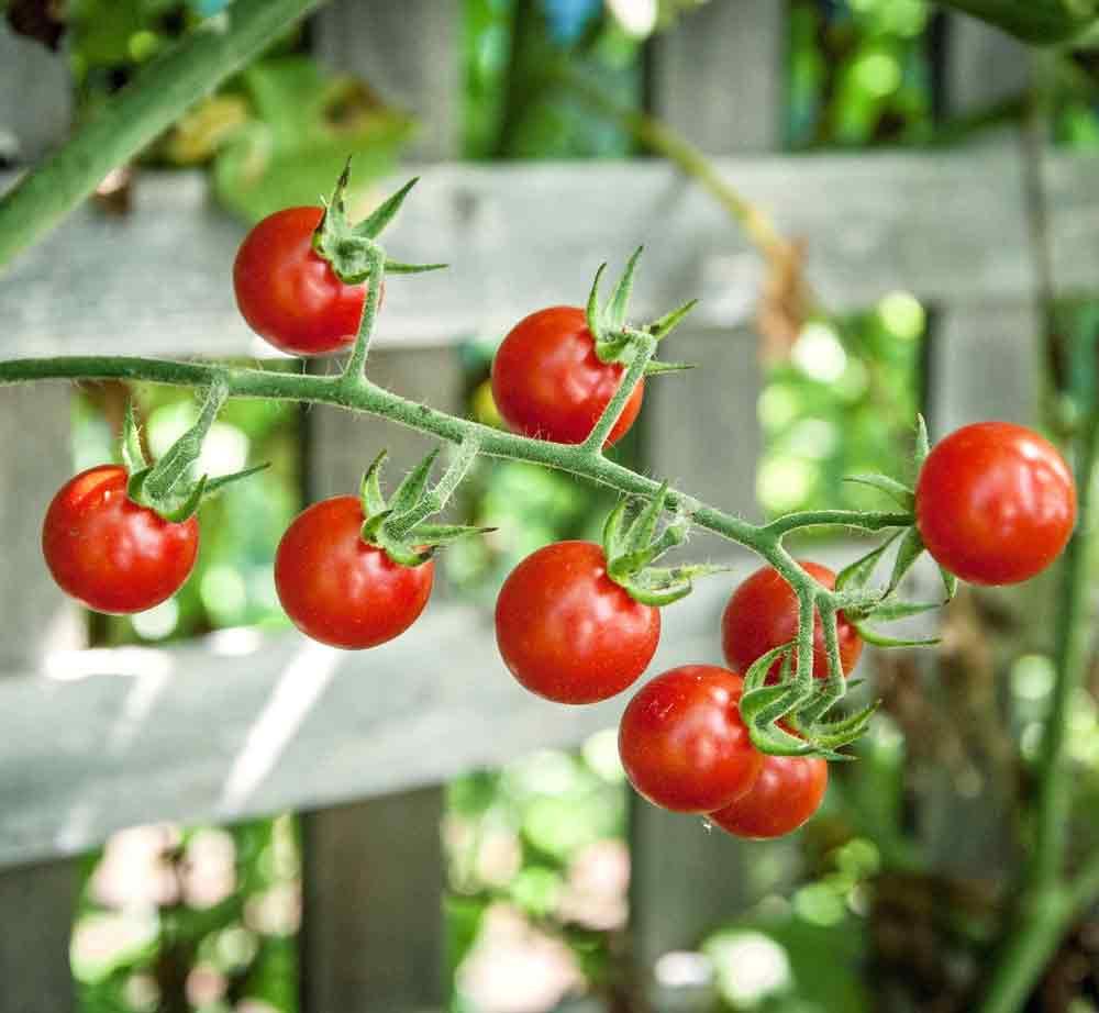 Ripe Sweet Pea Heirloom Currant Tomatoes - (Solanum pimpinellifolium)