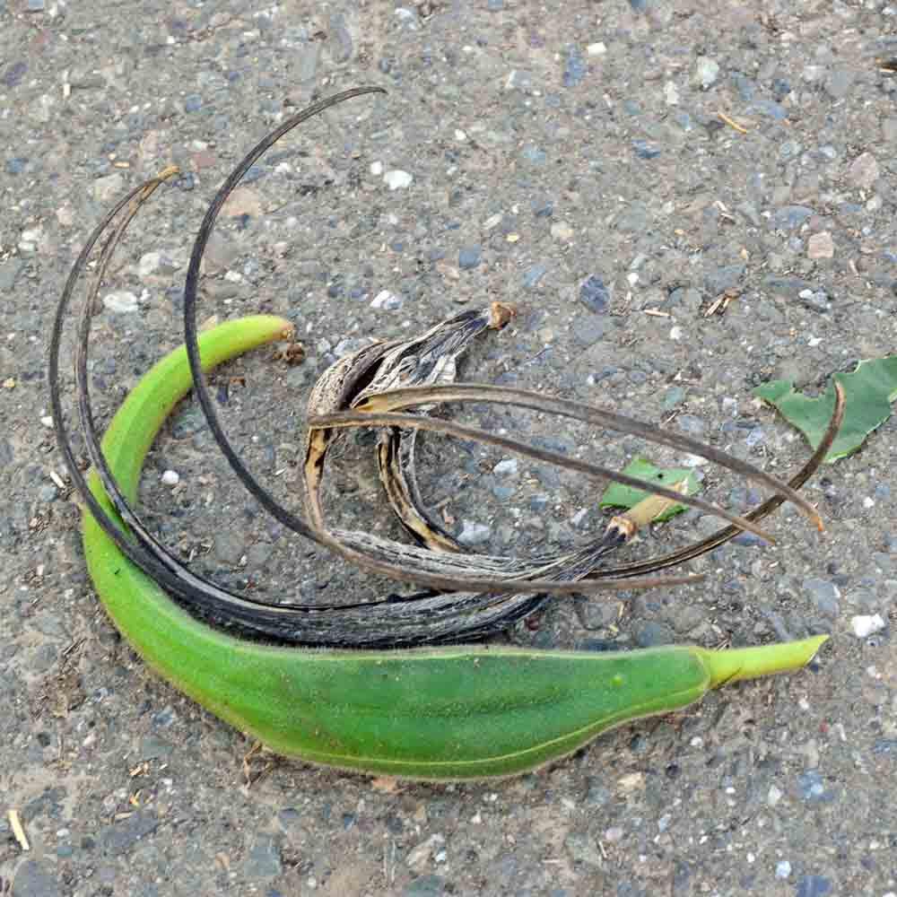 Mature and immature Black Seeded Devil's Claw pods - (Proboscidea parviflora)