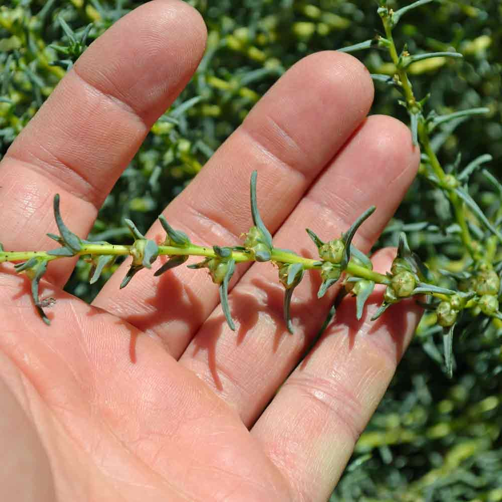Agretti going to seed - (Salsola soda)