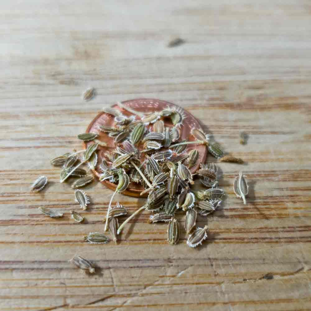 Red Samurai Heirloom Carrot Seeds - (Daucus carota var. sativus)