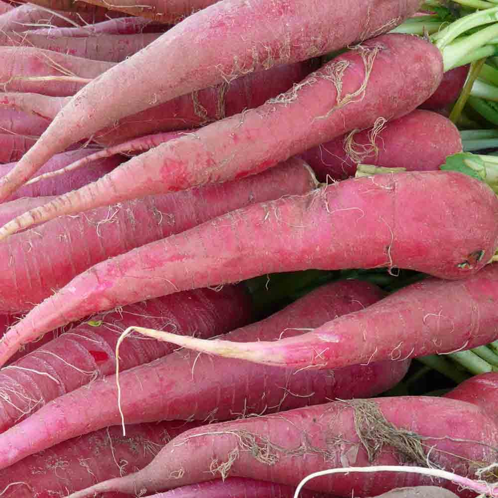 Red Samurai Heirloom Carrots - (Daucus carota var. sativus)