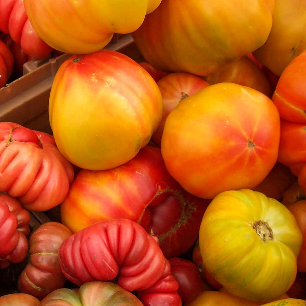 Fresh Picked Pineapple Tomatoes - (Lycopersicon lycopersicum)
