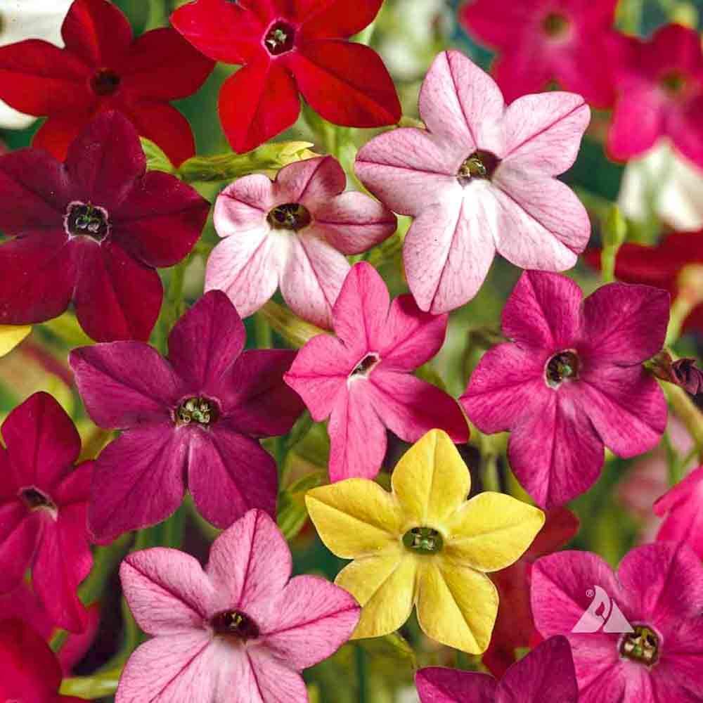 Sensation Mix Flowering Tobacco flowers