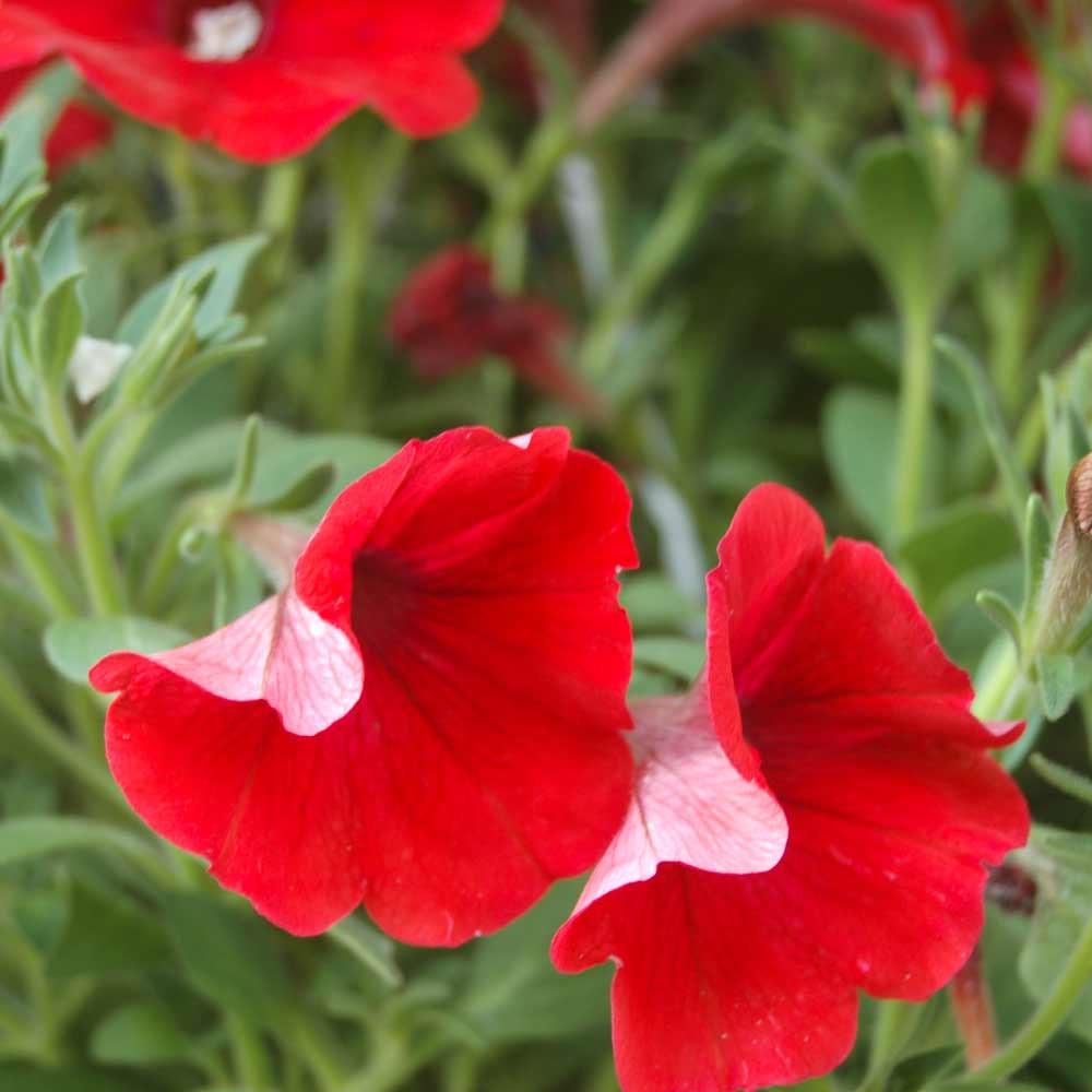 Fire Chief Dwarf Petunia Flowers - (Petunia nana compacta)