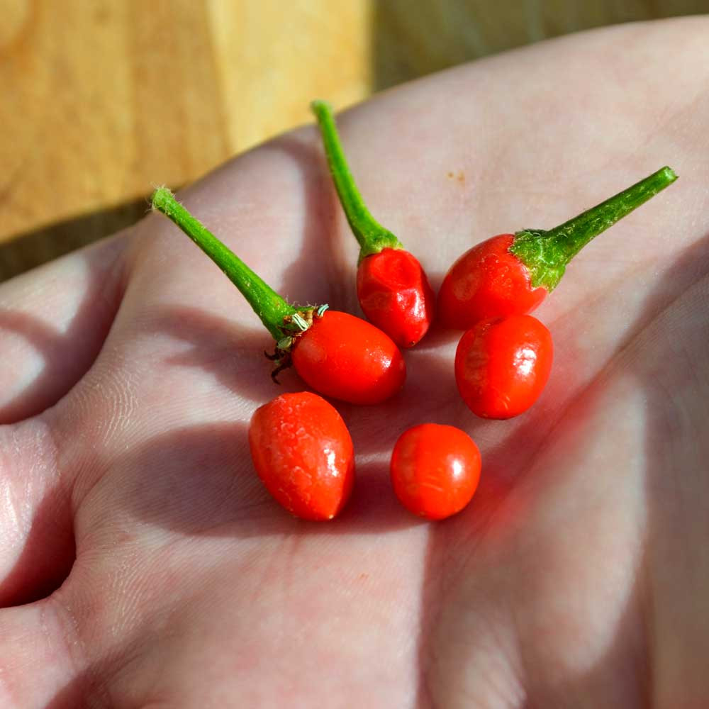 Handful of Chiltepin Hot Peppers