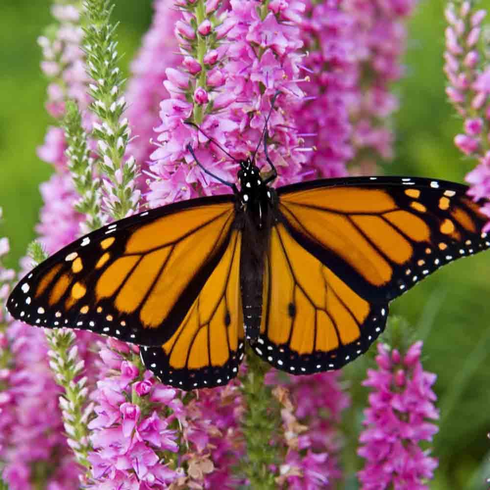 Monarch Butterfly Heirloom Flower Seed Mix
