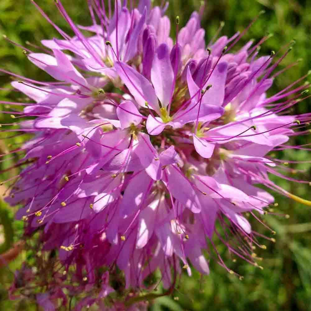 Rocky Mountain Bee Plant flower  - (Cleome serrulata)
