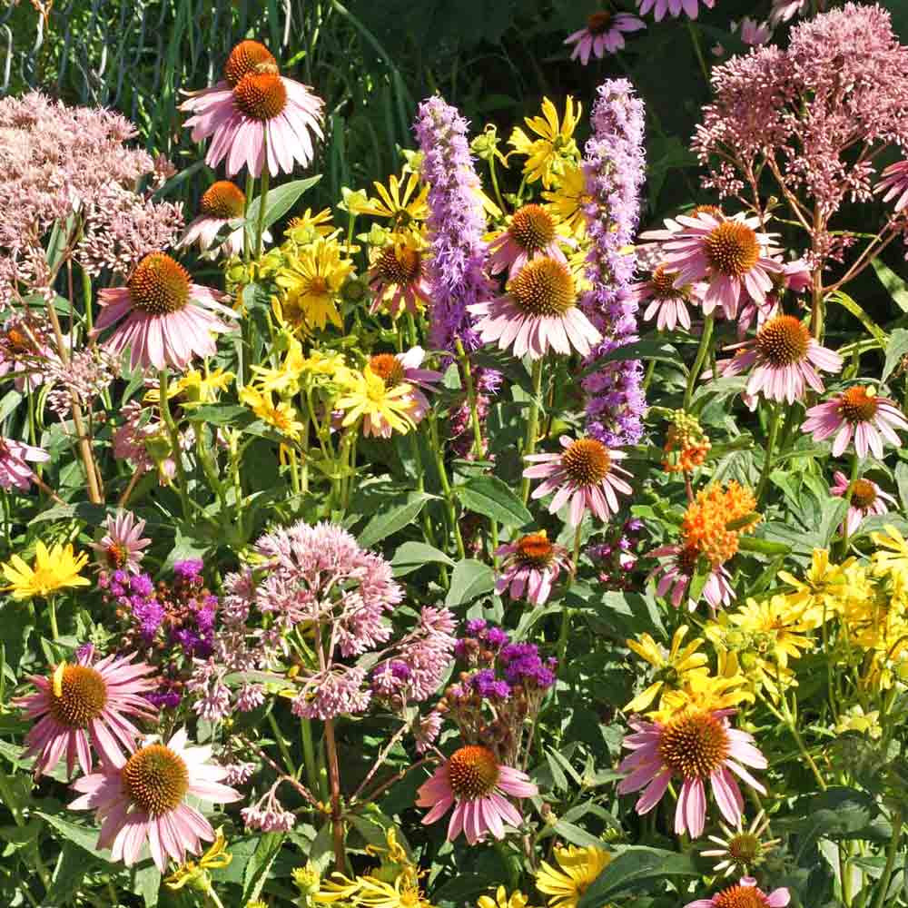Native Flower Seed Mix for Monarchs