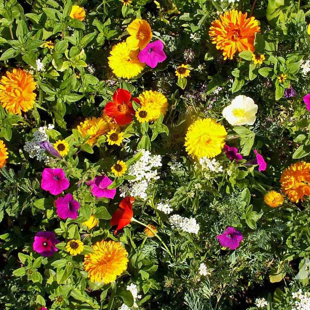 Sunburst Ground Cover Flower Mix