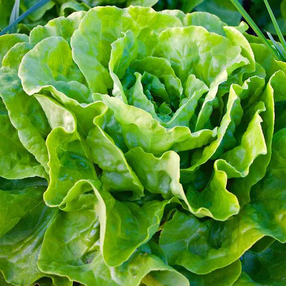 Buttercrunch Bibb Lettuce  - (Latuca sativa)