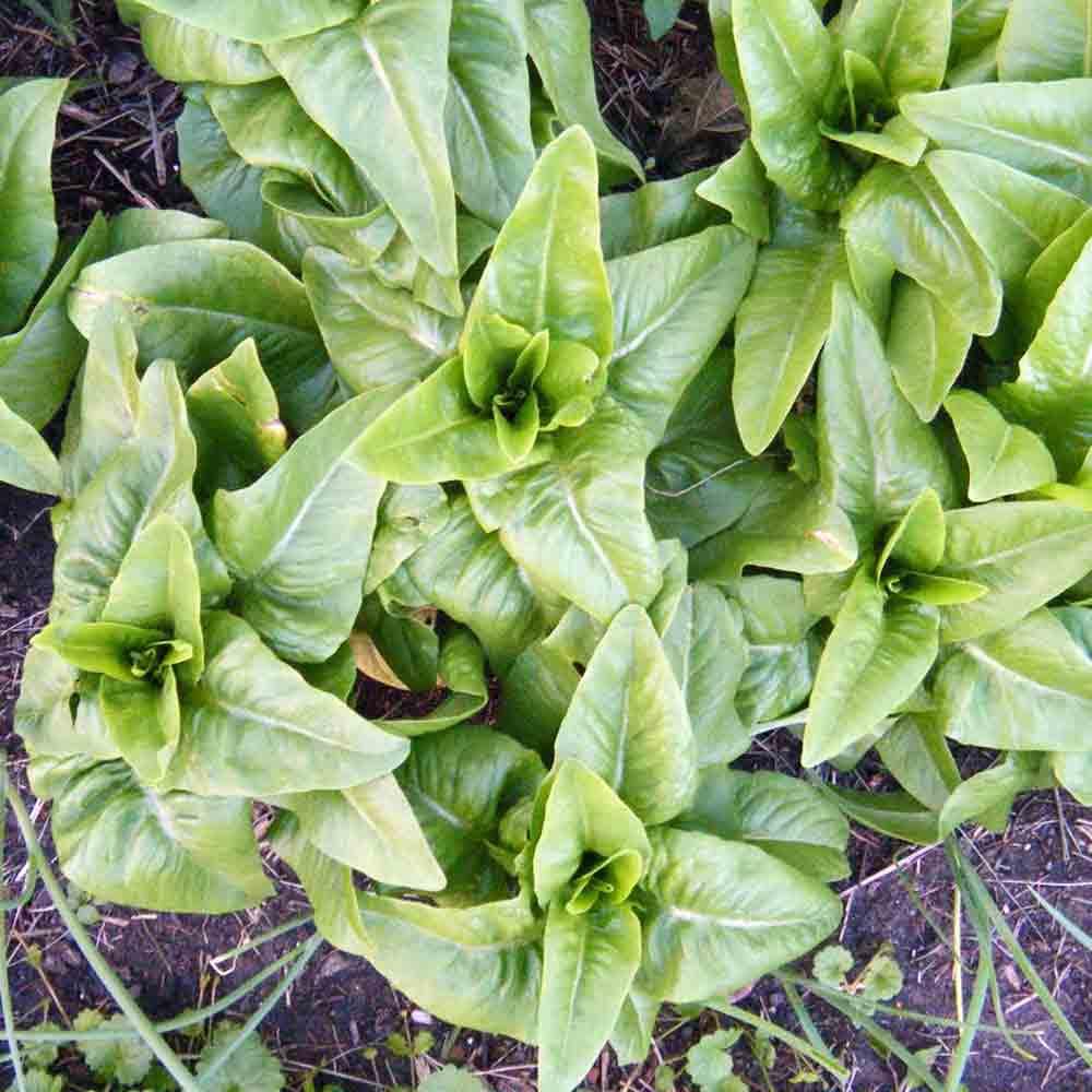 Amish Deer Tongue Lettuce plants - (Latuca sativa)