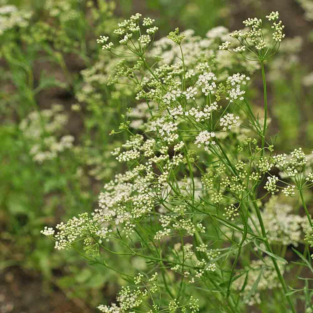 Anise Flowers - (Pimpinella anisum)