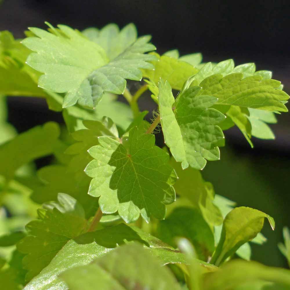 Anise Leaves - (Pimpinella anisum)