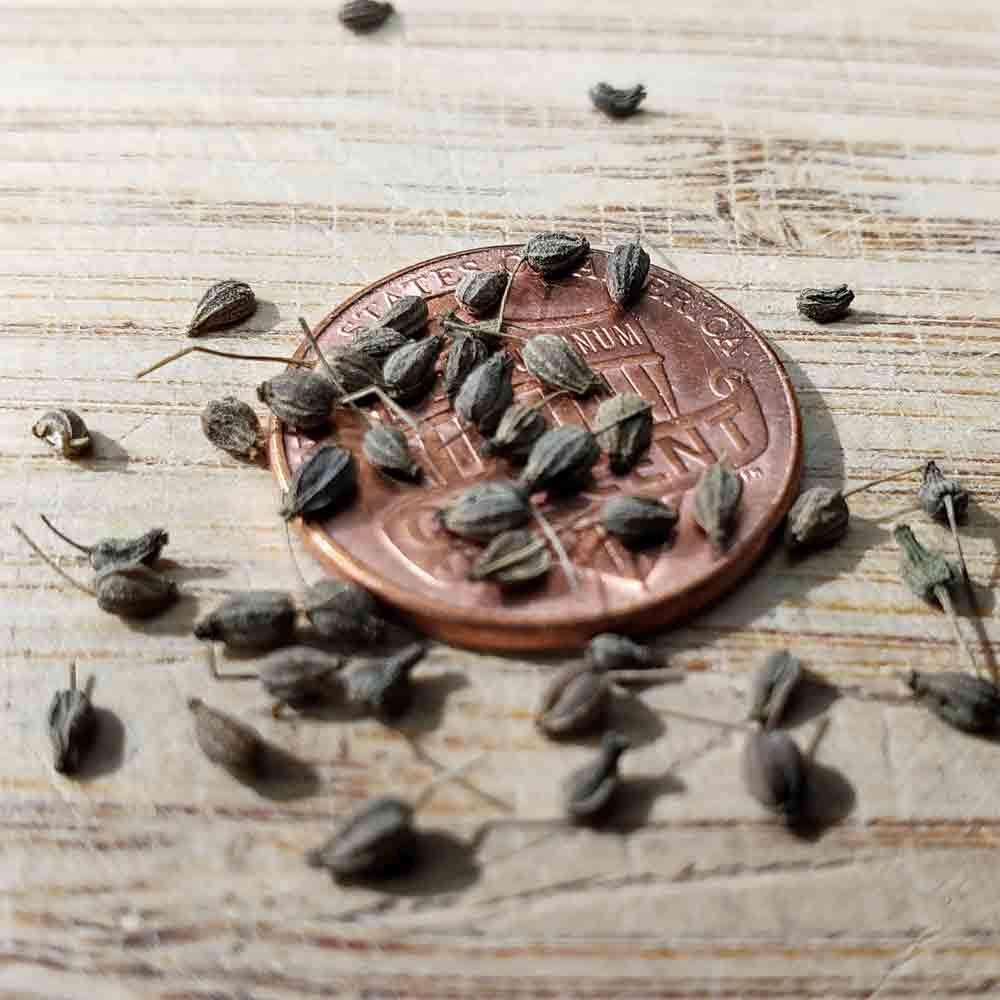 Anise Heirloom Seeds - (Pimpinella anisum)