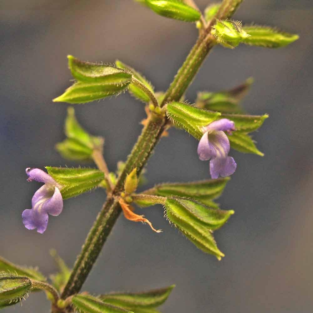 Tarahumara Chia flowers - (Salvia tiliifolia)