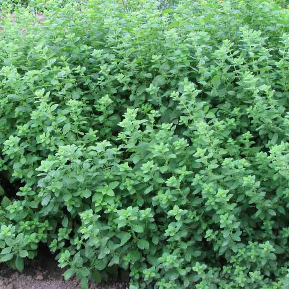 Lemon Balm plant - (Melissa officinalis)