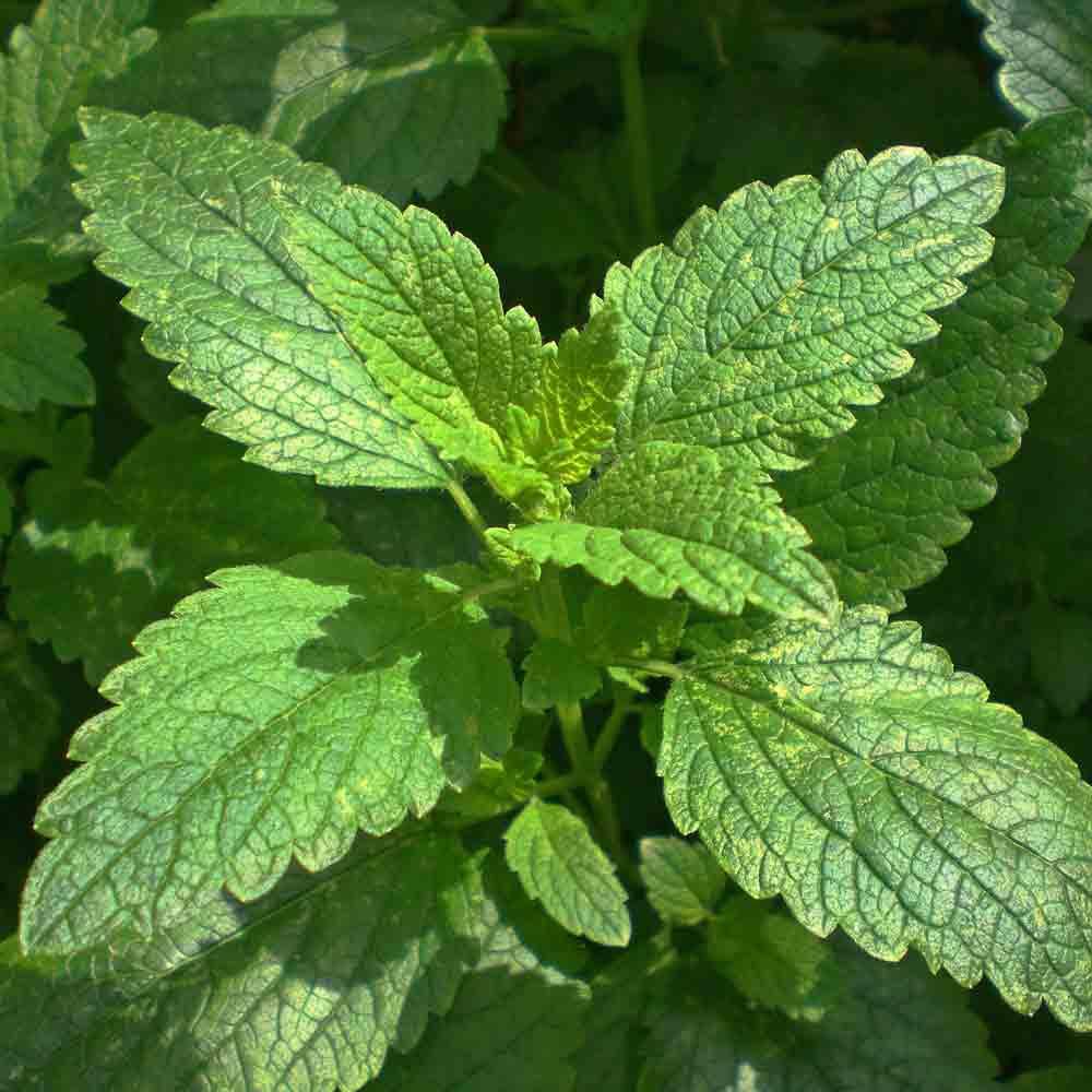 Lemon Balm leaves - (Melissa officinalis)