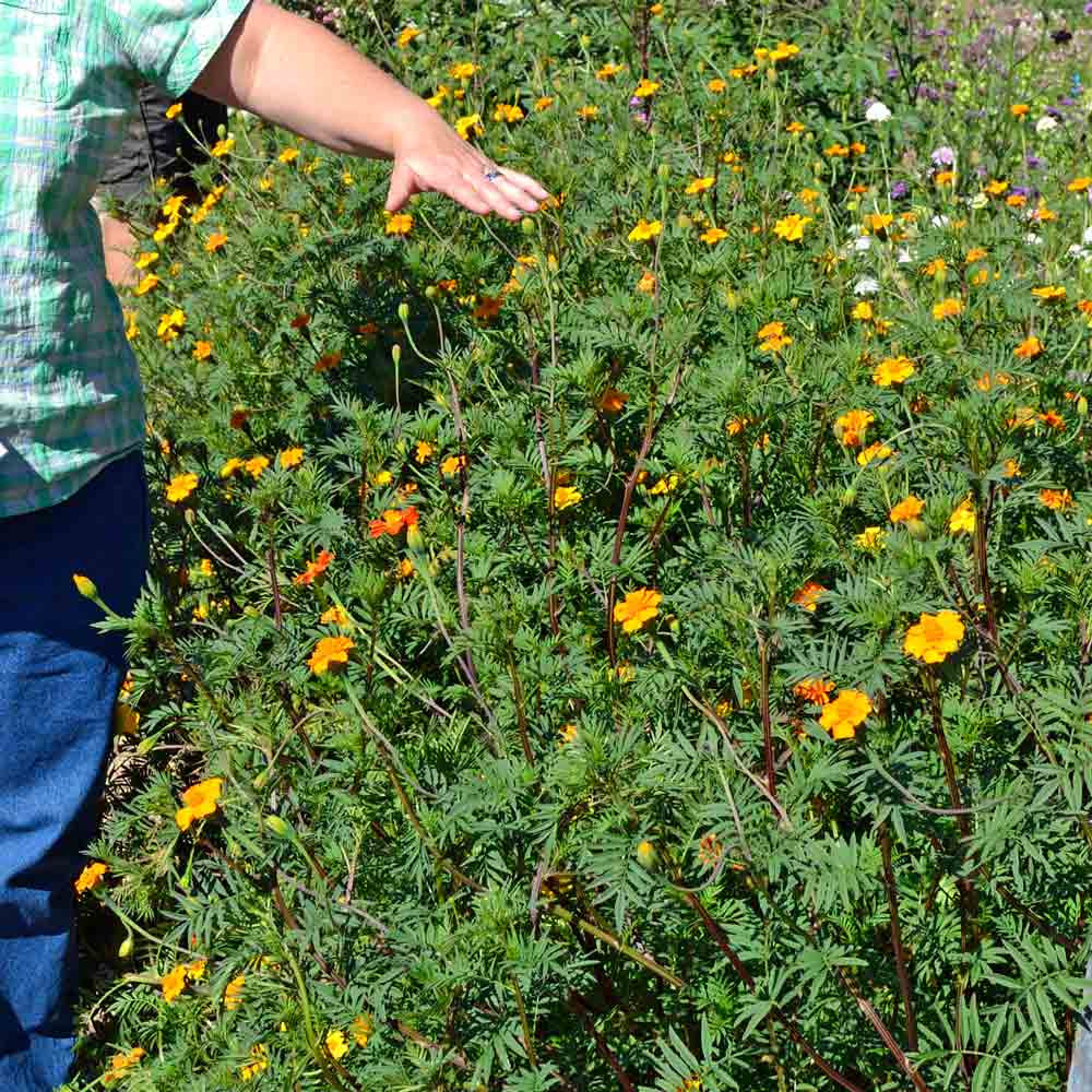Marigold Nematode Control Seed Mix - (Tagetes patula)