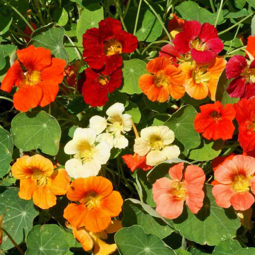Tom Thumb Nasturtium flower Mix - (Tropaeolum majus)