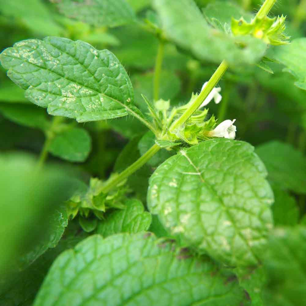 Lime Balm leaves and flower bud - (Melissa officinalis 'Lime')