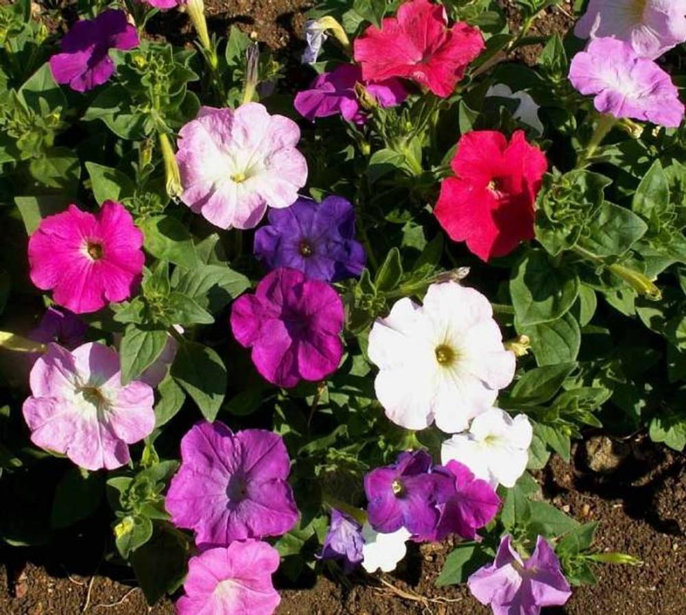 Dwarf Petunia Mix - (Petunia nana compacta)