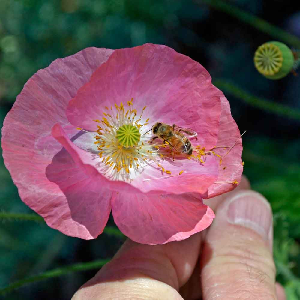 Single Mixed Corn Poppy flower with bee - (Papaver rhoeas)
