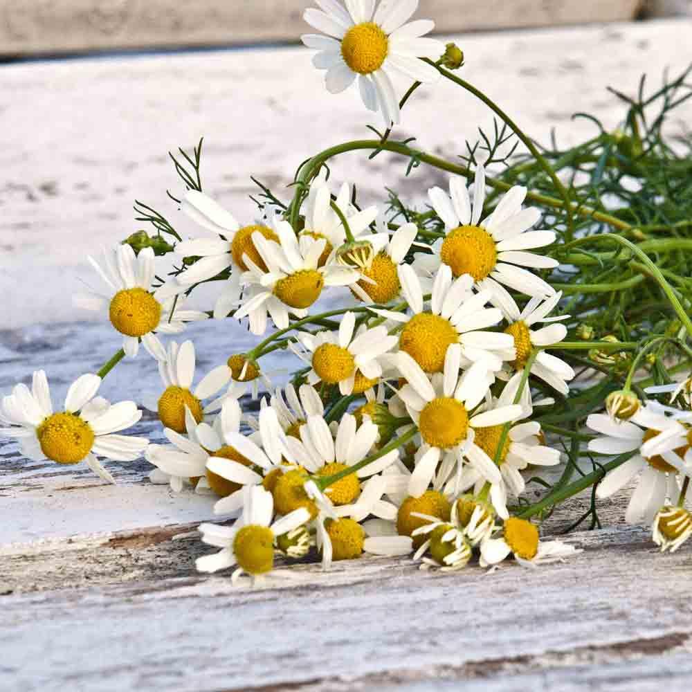 German Chamomile flowers - (Matricaria recutita)