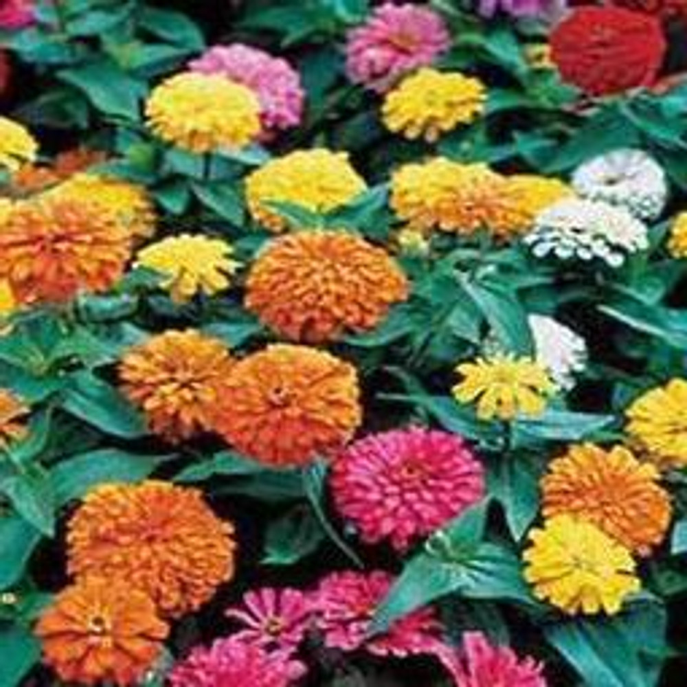Dahlia-Flowered Zinnia Mix - (Zinnia elegans)