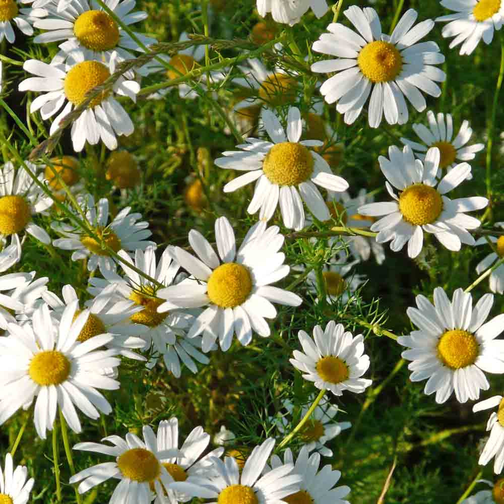 Roman Chamomile flowers - (Chamaemelum nobile)