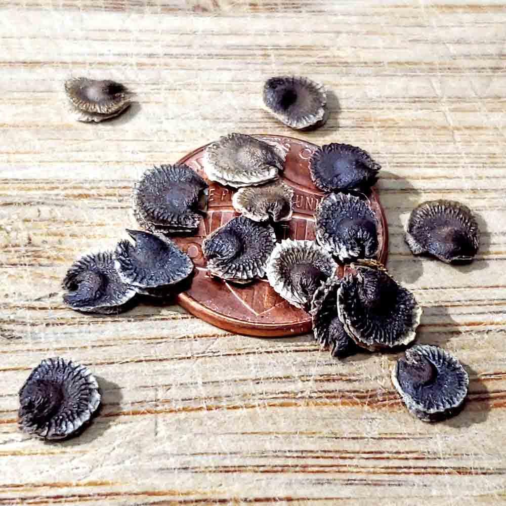 Heirloom Black Hollyhock Seeds - (Alcea rosea)