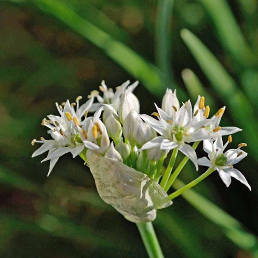 Garlic Chive flower - (Allium tuberosum)