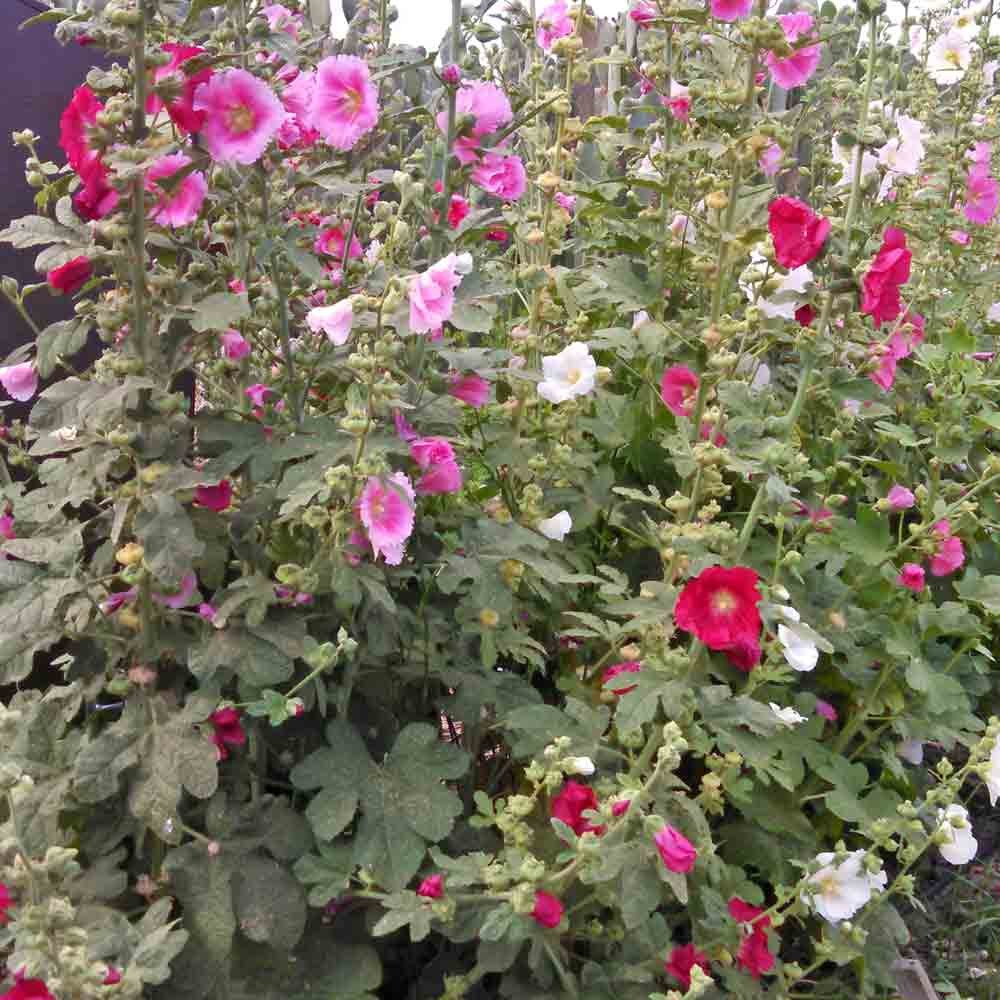 Stand of Indian Spring Mix Hollyhocks - (Alcea rosea)