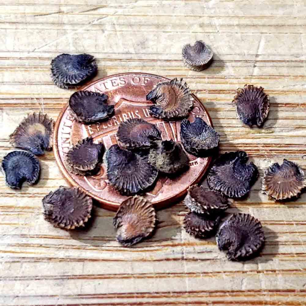 Heirloom Indian Spring Mix Hollyhock Seeds - (Alcea rosea)