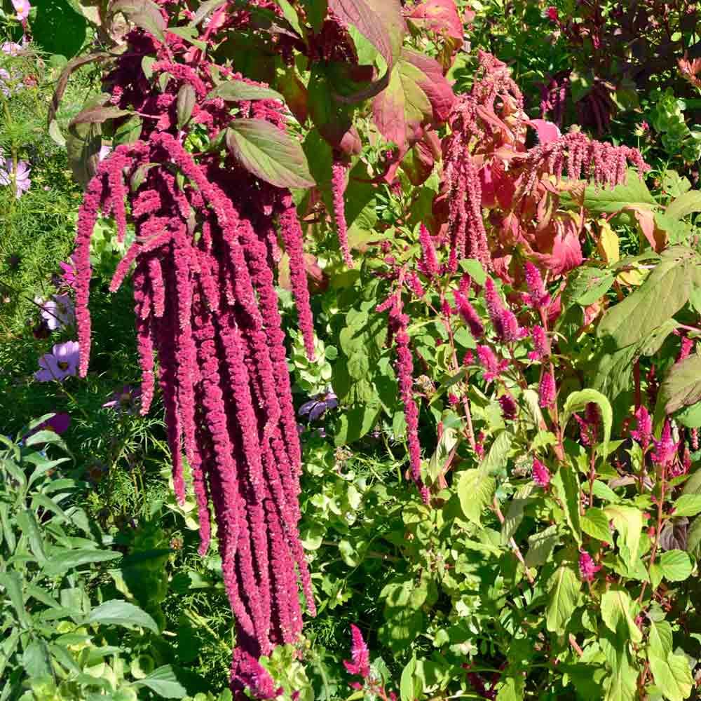 Love-Lies-Bleeding Amaranth Flowers - (Amaranthus caudatus)