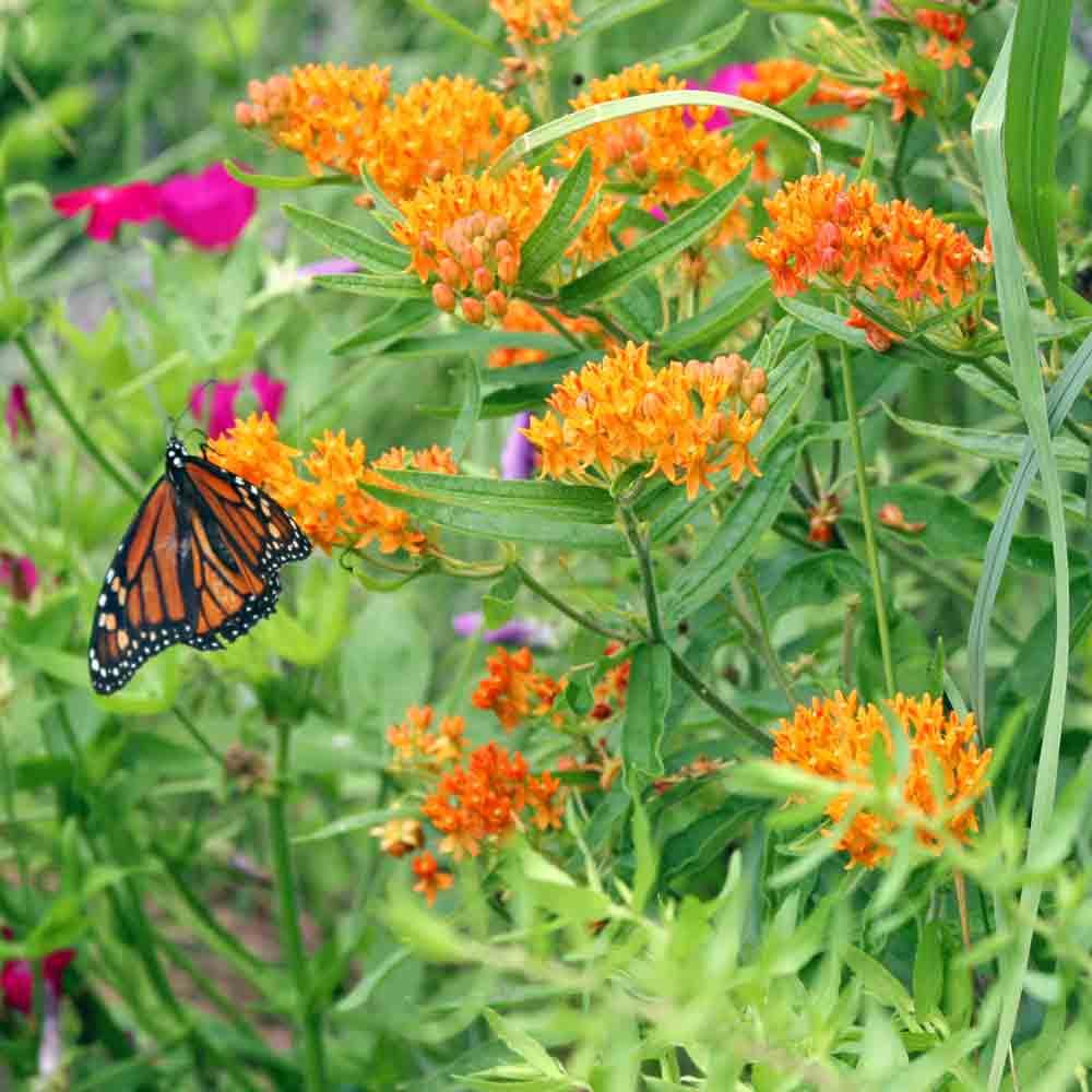 Butterfly Milkweed - (Asclepias tuberosa)