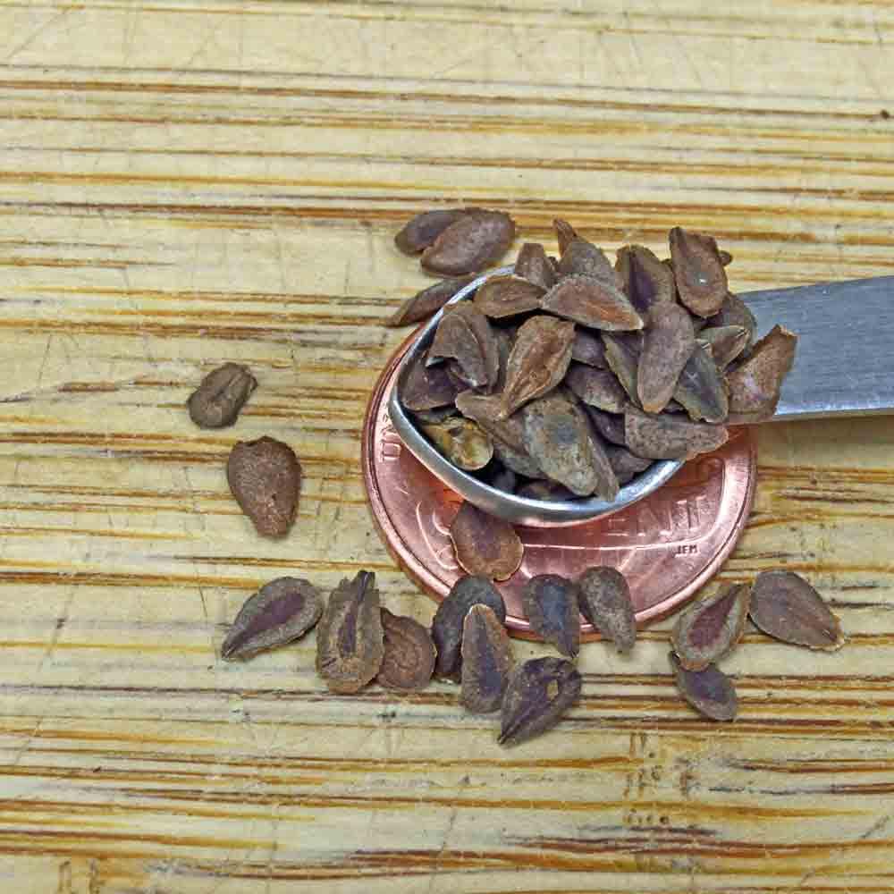 Butterfly Milkweed Seeds - (Asclepias tuberosa)