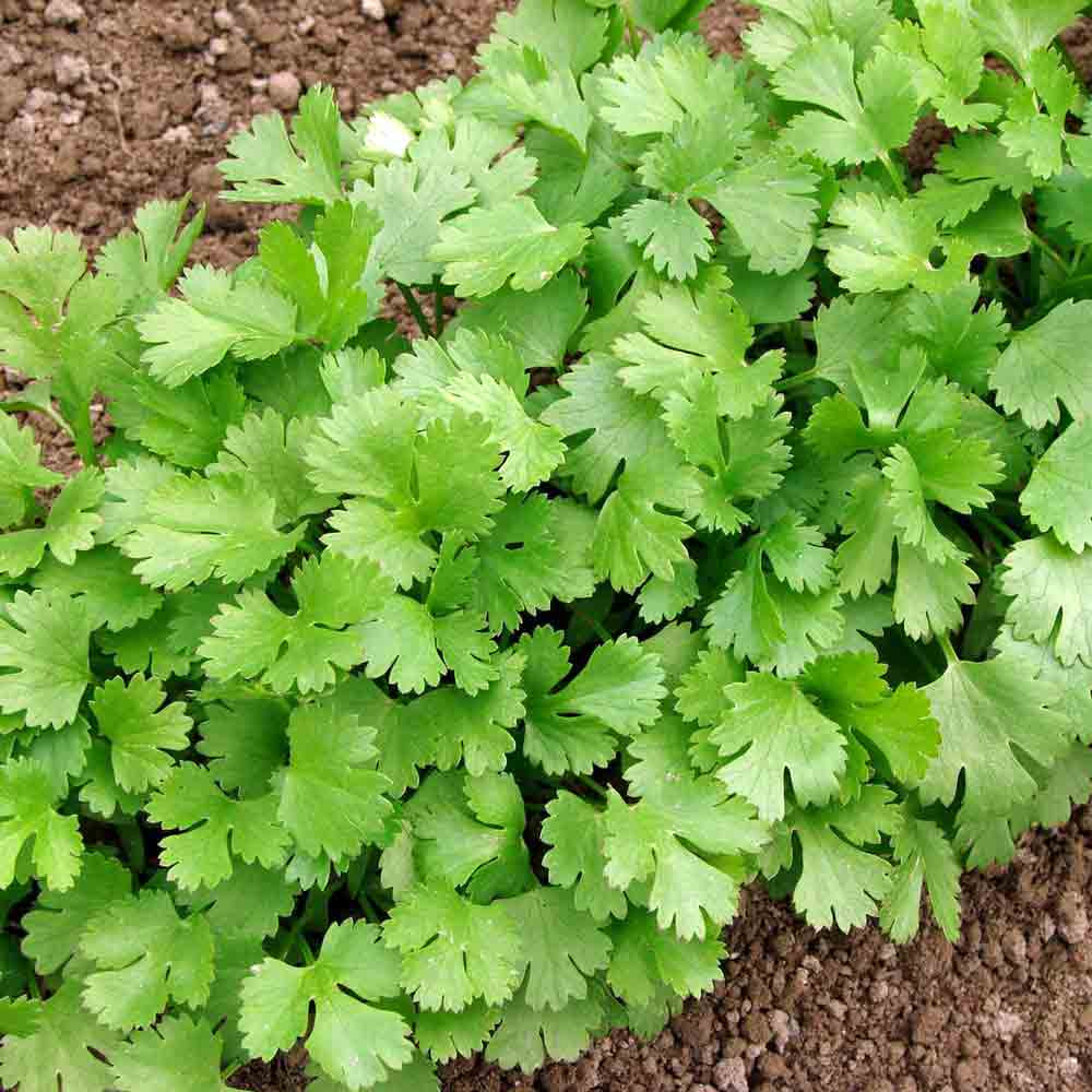 Slow Bolting Cilantro leaves - (Coriandrum sativum)