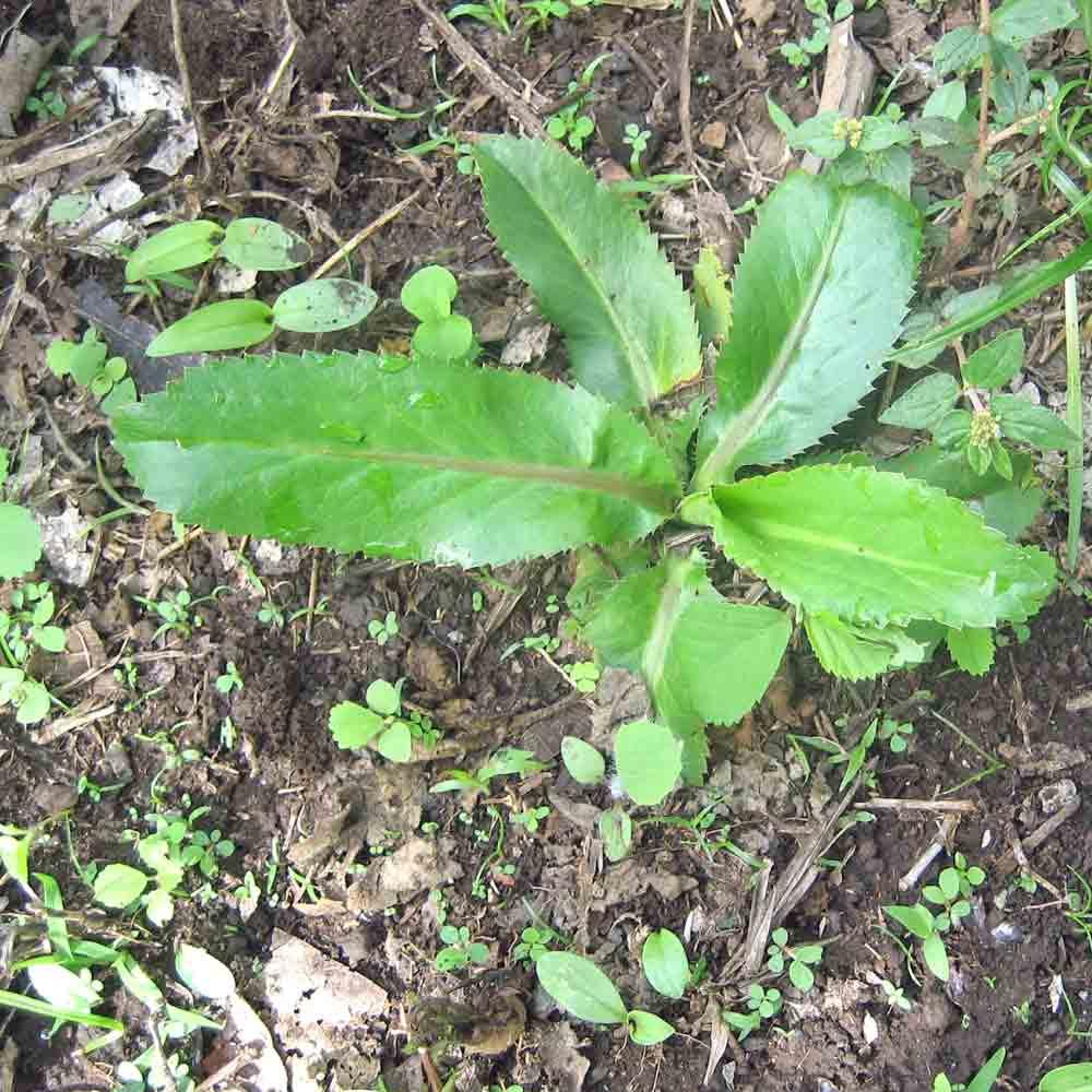 Culantro seedling - (Eryngium foetidum)