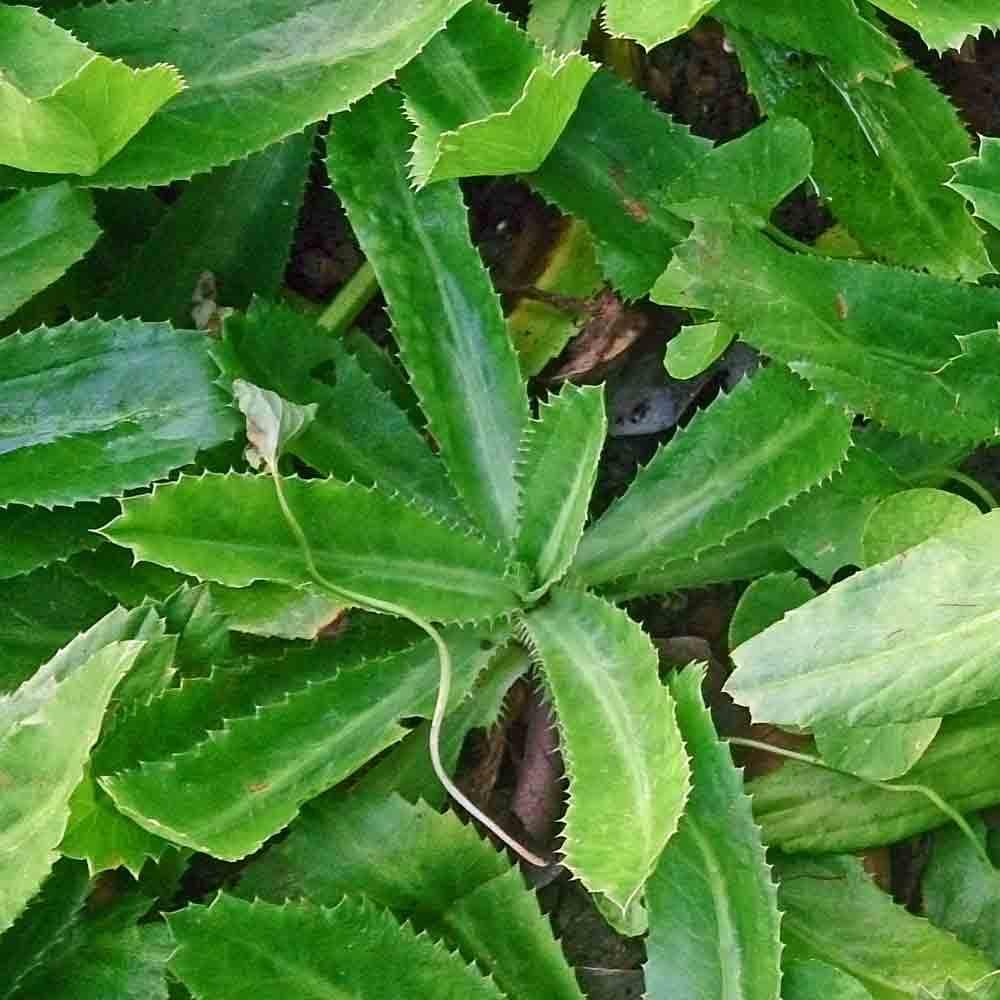 Culantro plant - (Eryngium foetidum)