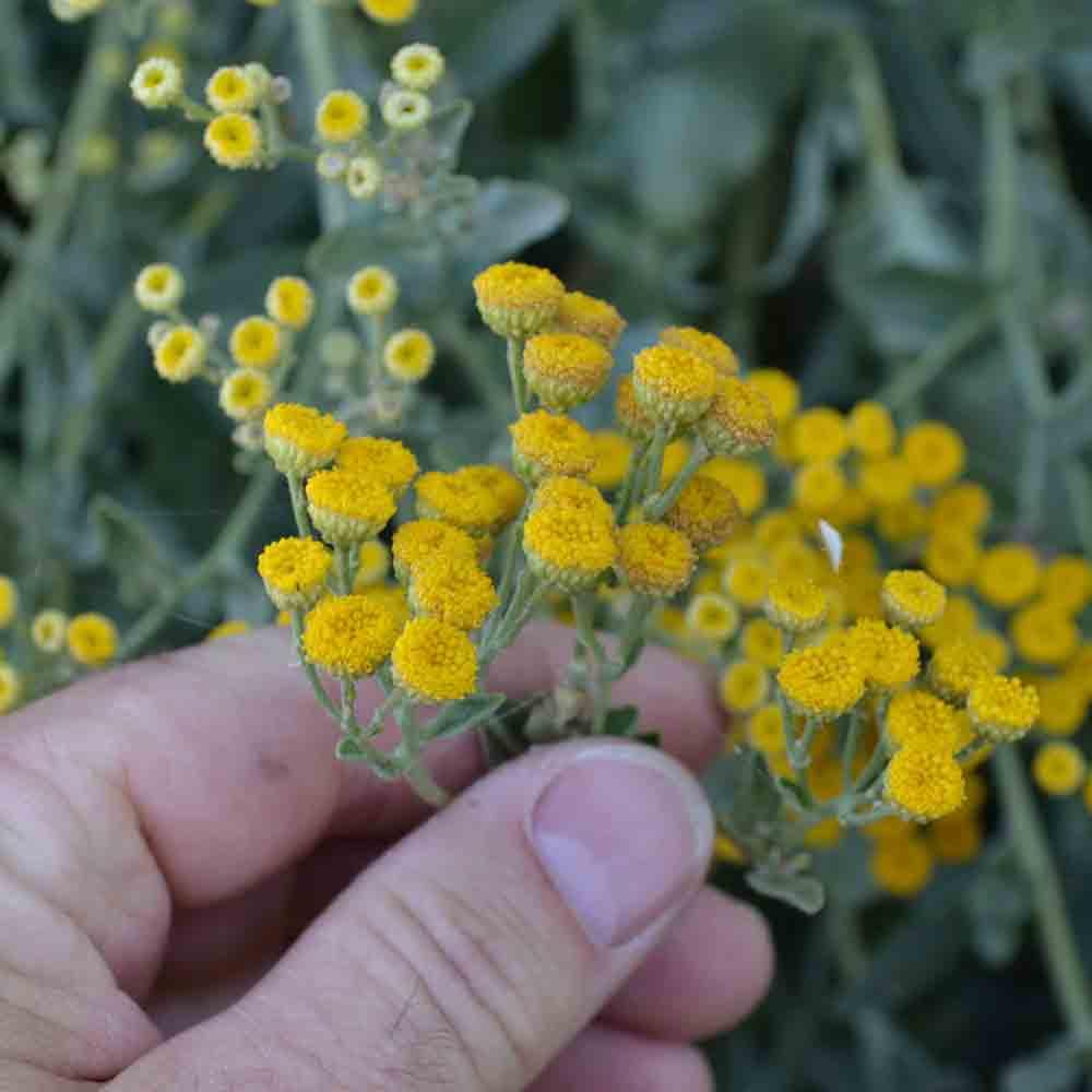 Costmary flowers - (Tanacetum balsamita)