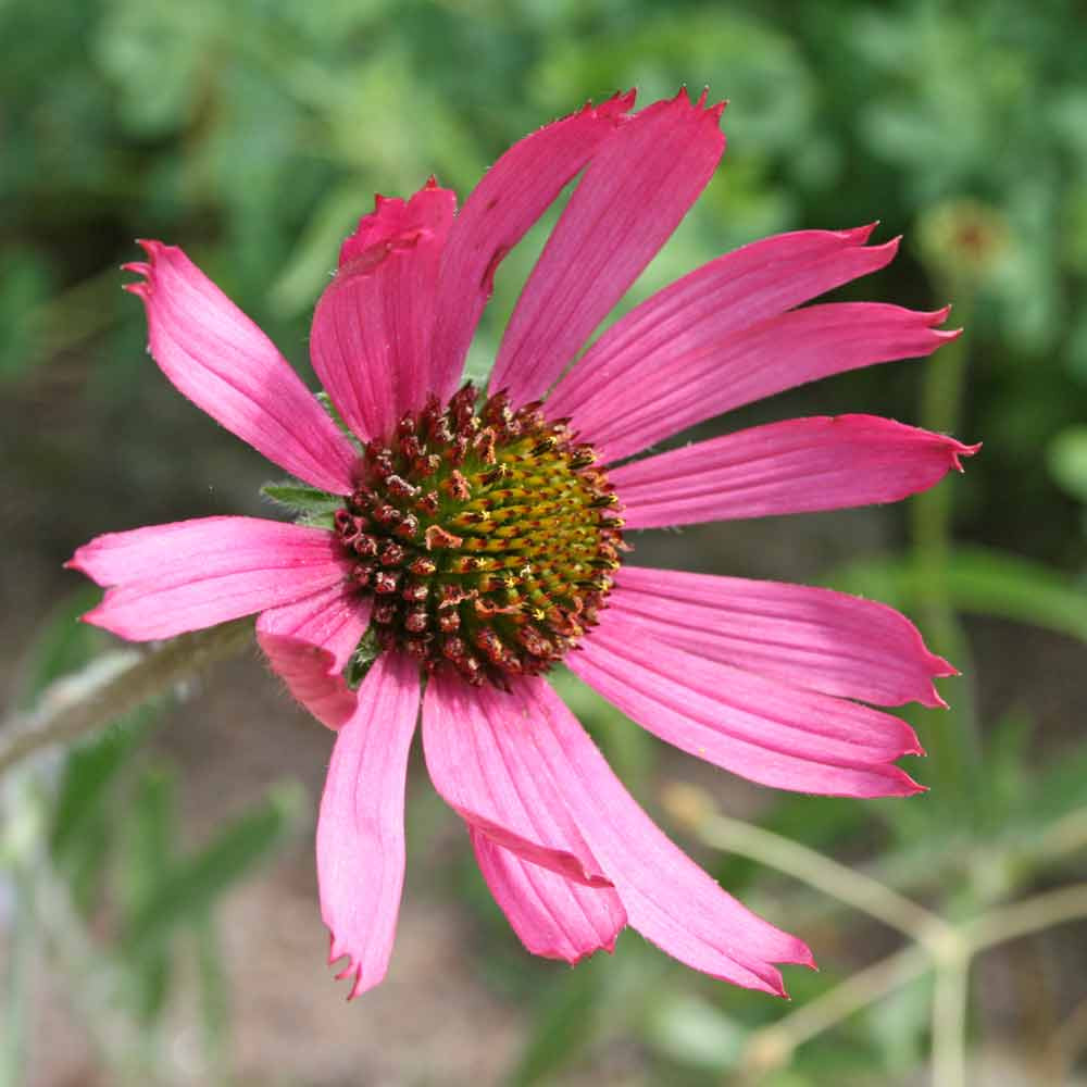 Tennessee Coneflower closeup - (Echinacea tennesseensis)