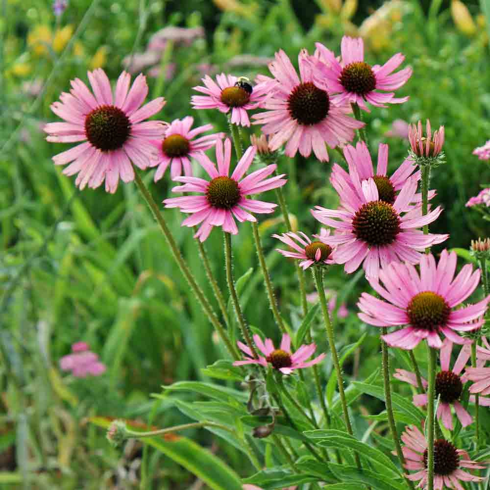 Tennessee Coneflower blossoms - (Echinacea tennesseensis)