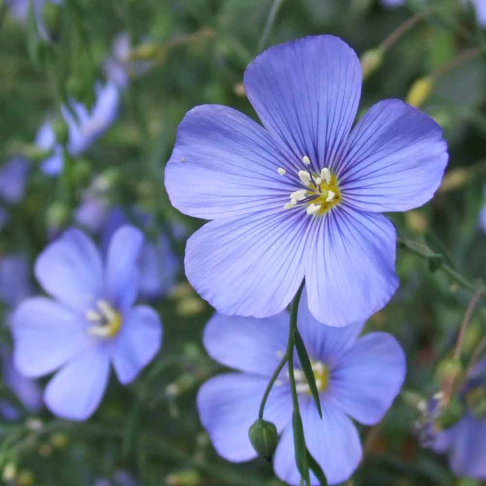Blue Flax Flowers  - (Linum lewisii)